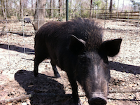 Photo of Jim's wild boar Dennis
