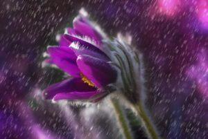 photo of purple flower in rain