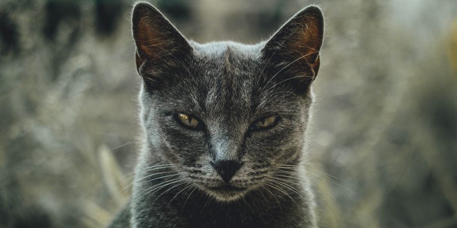Photo Of A Cross-looking Cat To Signify Pet Hates