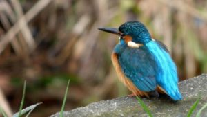 the kingfisher, or halcyon, creative commons, taken by ConiferConifer https://www.flickr.com/photos/7656600@N06/