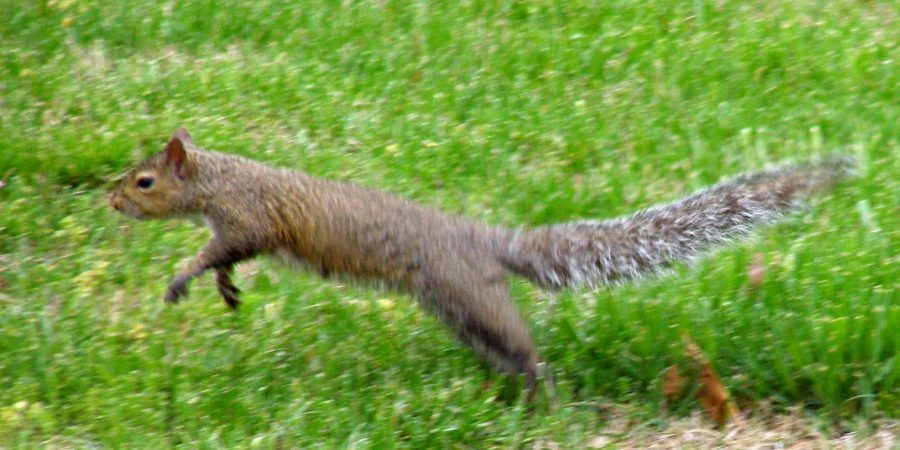 Leaping Squirrel By Morguefile Via Juditu