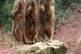 Photo of three meerkats looking in different directions