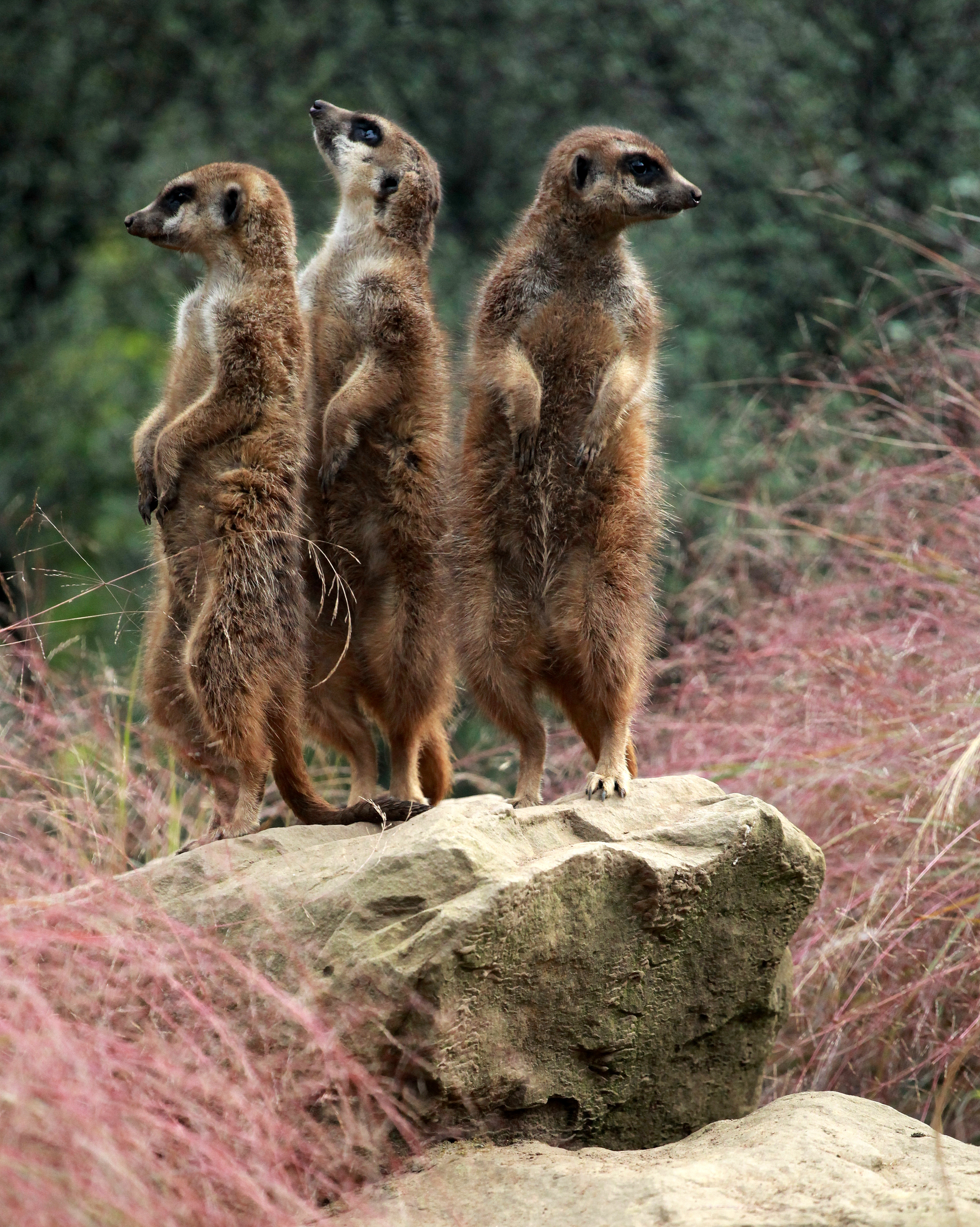 Photo Of Three Meerkats Looking In Different Directions