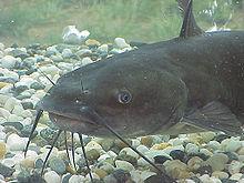 catfish, from wikipedia
