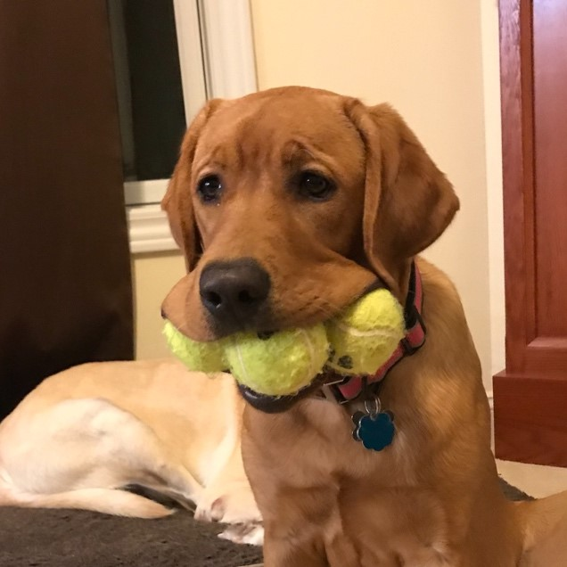 Photo Of Puppy With Three Balls In Its Mouth
