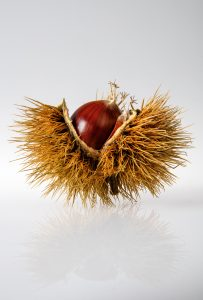 image of a chestnut in its shell