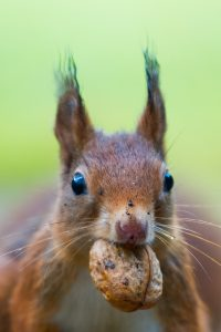 photo of red squirrel with a nut in its mouth
