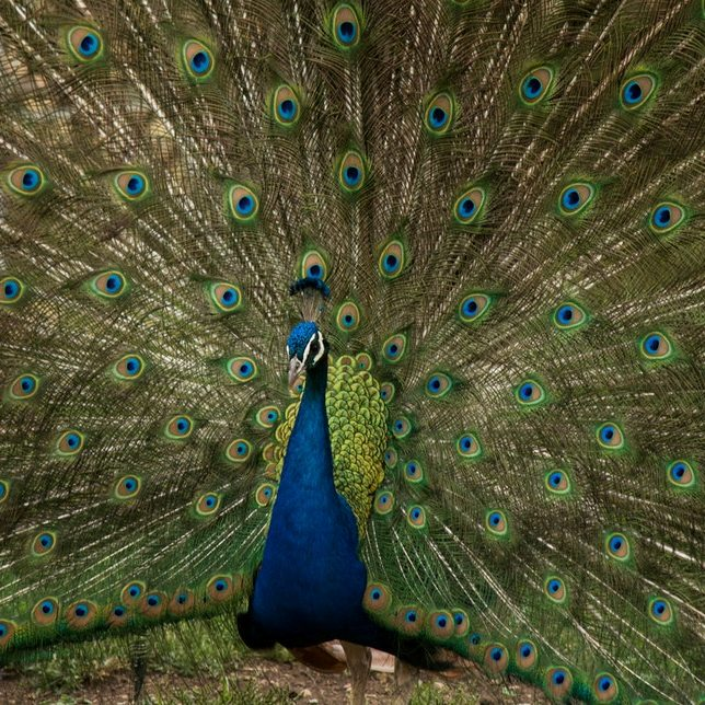 Peacock Displaying Tail Feathers