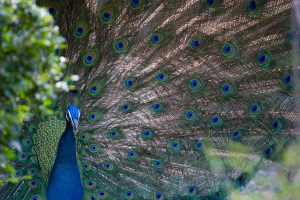 photo of a peacock's long tail