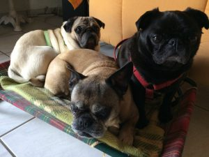 photo of JJ Marsh's pet pugs